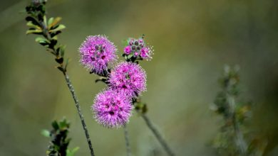 Photo of Learn about Kunzea Oil and Its Uses